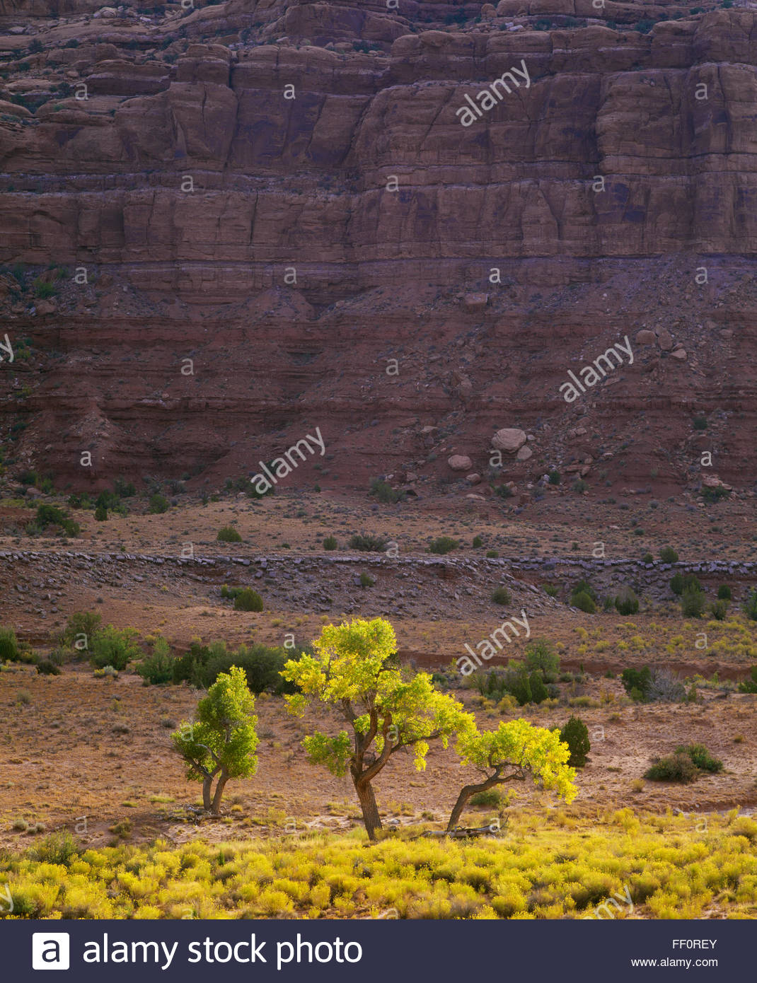 Cottonwood trees in the Valley of the Gods.  Bears Ears National Monument, Southeast Utah. - Stock Image