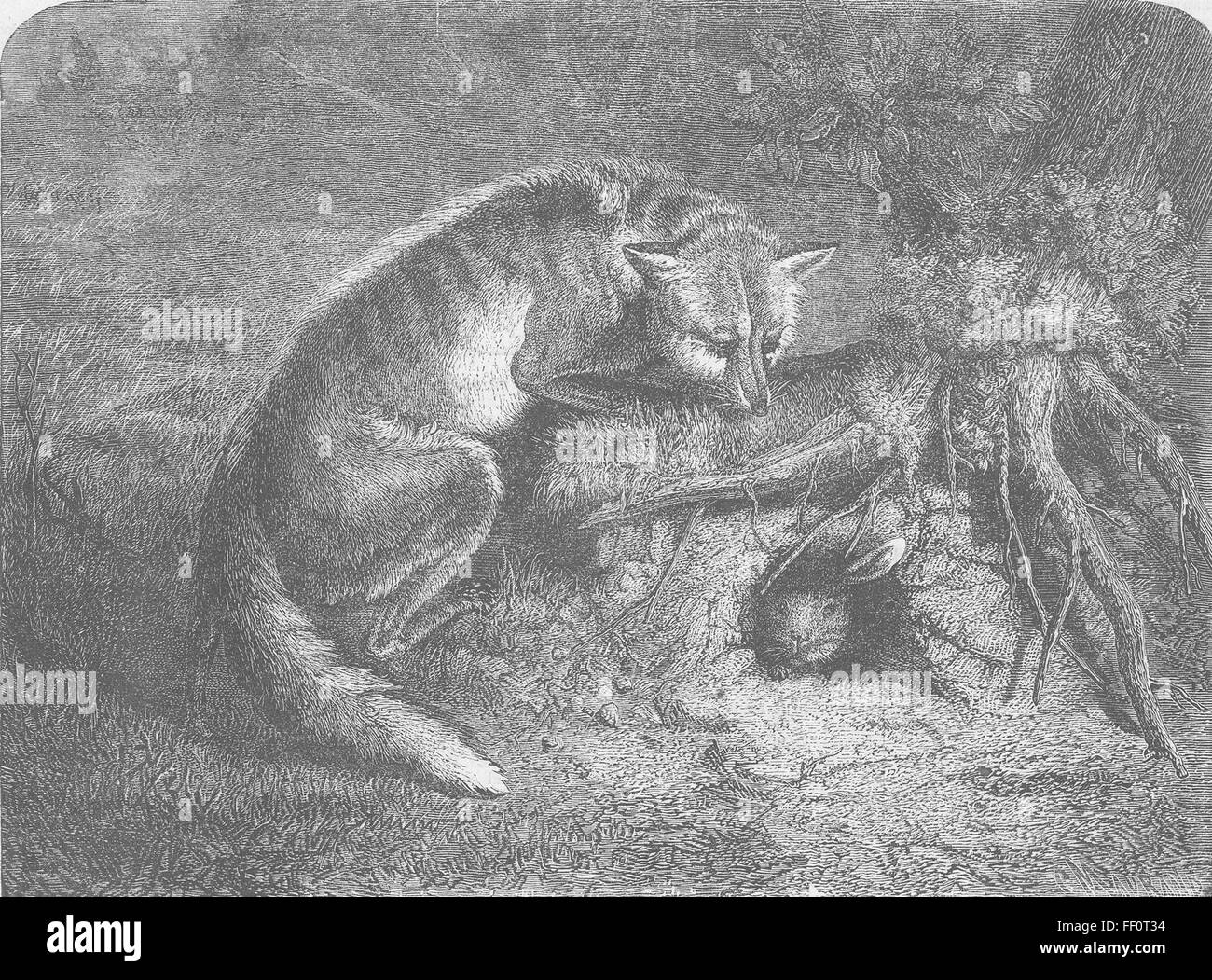 FOXES Tip of ear & tail 1862. Illustrated London News Stock Photo