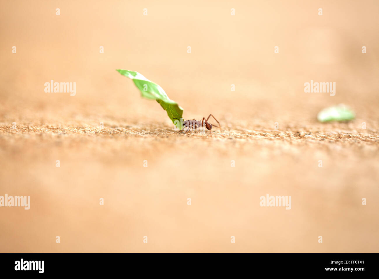 A close-up of a single leaf cutter ant carrying a piece of green leaf across a textured surface. - Stock Image