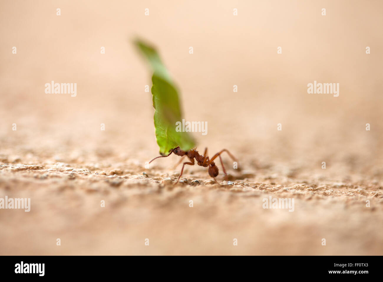 A close-up of a single leaf cutter ant carrying a piece of green leaf across a textured surface. Stock Photo