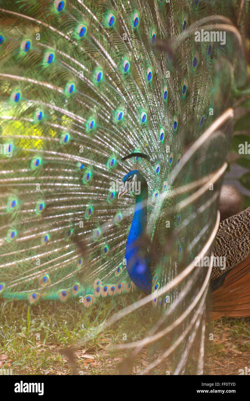 Side view of peacock displaying his tail feathers. Stock Photo