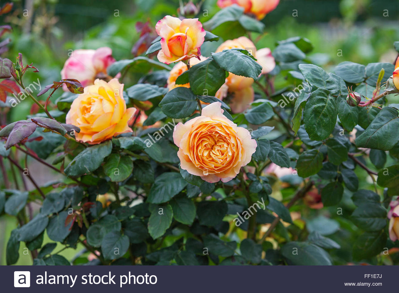 Rosa 'Well Being' - Scented rose, roses - Stock Image