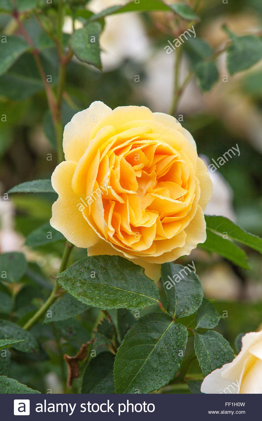 Rosa graham thomas scented rose stock photo 95306985 alamy rosa graham thomas scented rose thecheapjerseys Images