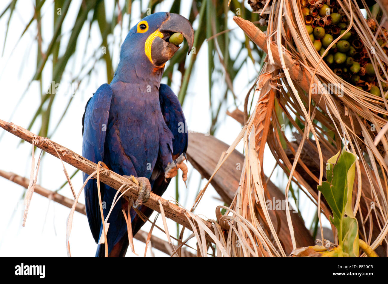 Hyacinth macaw (Anodorhynchus hyacinthinus) in palm tree eating a palm nut in the Brazilian Pantanal - Stock Image
