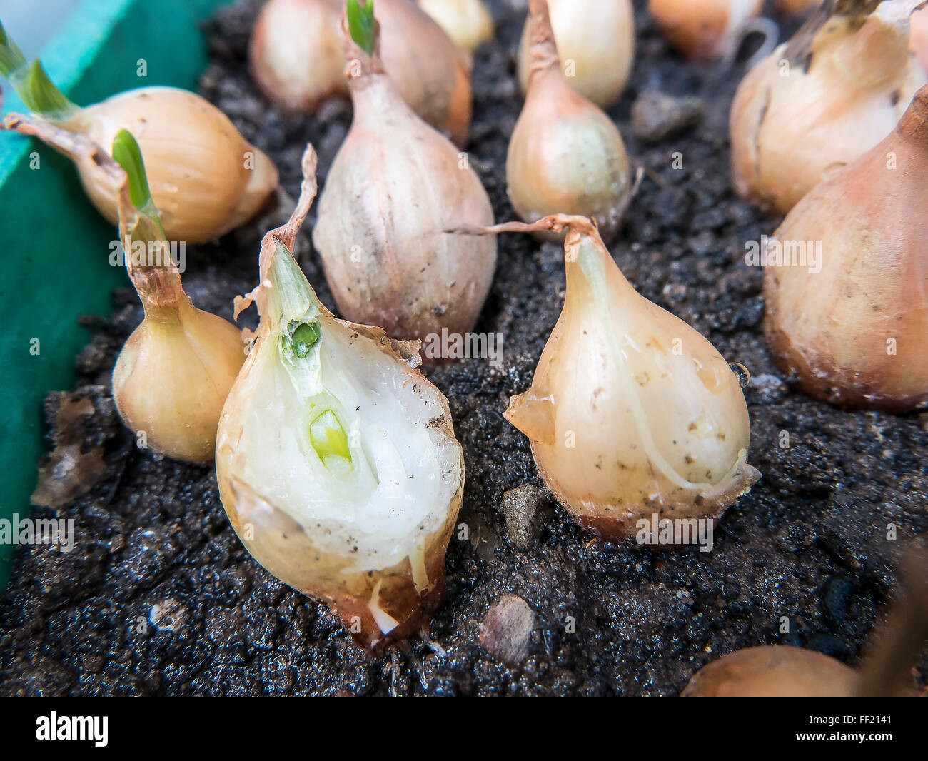 Onion sets shooting in a cold greenhouse over winter and showing evidence of mice nibbling - Stock Image