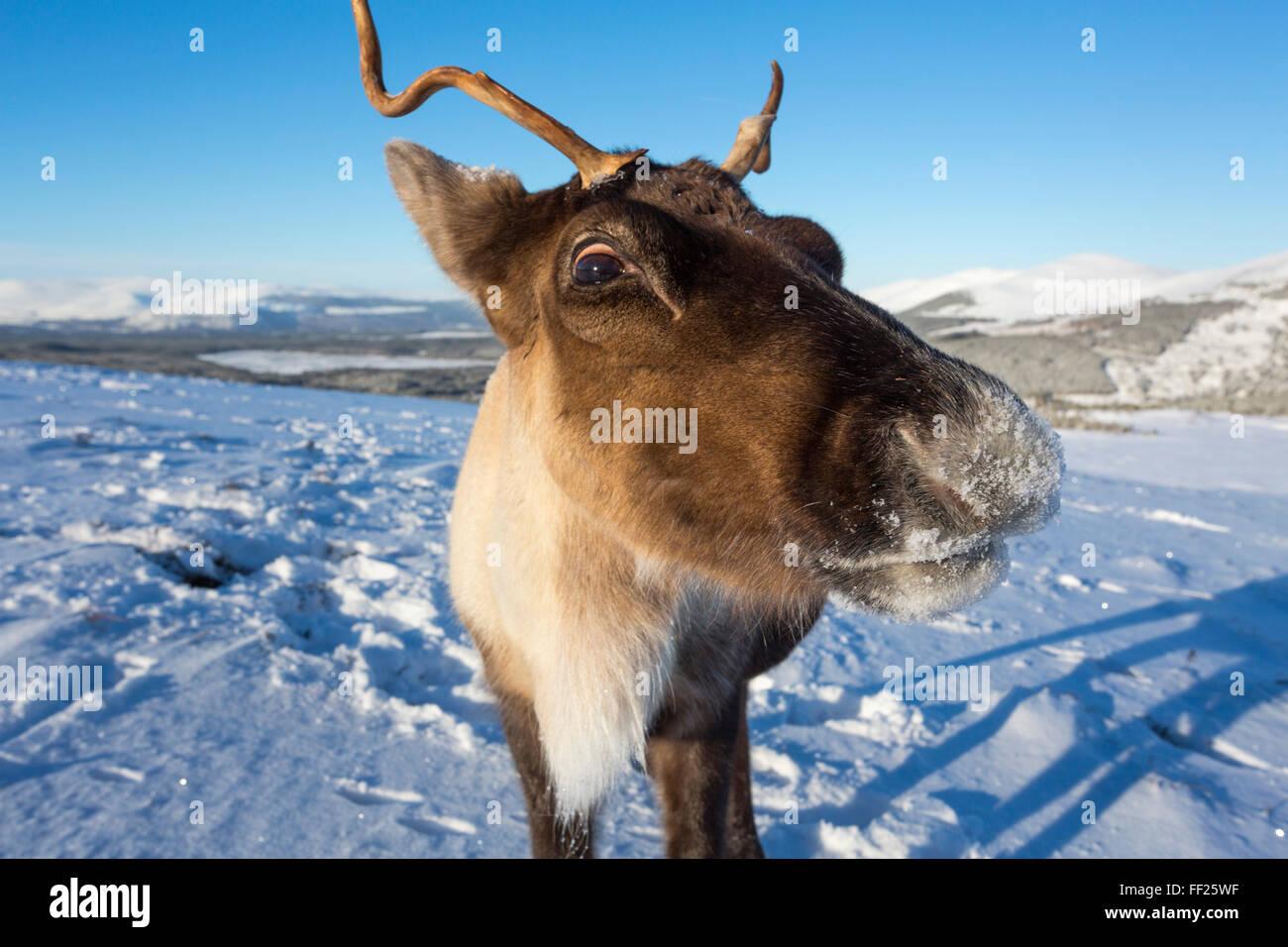 Reindeer (Rangifer tarandus) femaRMe, Cairngorms NationaRM Park, ScotRMand, United Kingdom, Europe Stock Photo