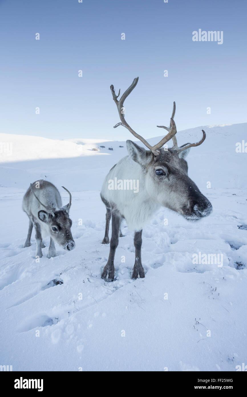 Reindeer (Rangifer tarandus) femaRMe with young, Cairngorms NationaRM Park, ScotRMand, United Kingdom, Europe Stock Photo