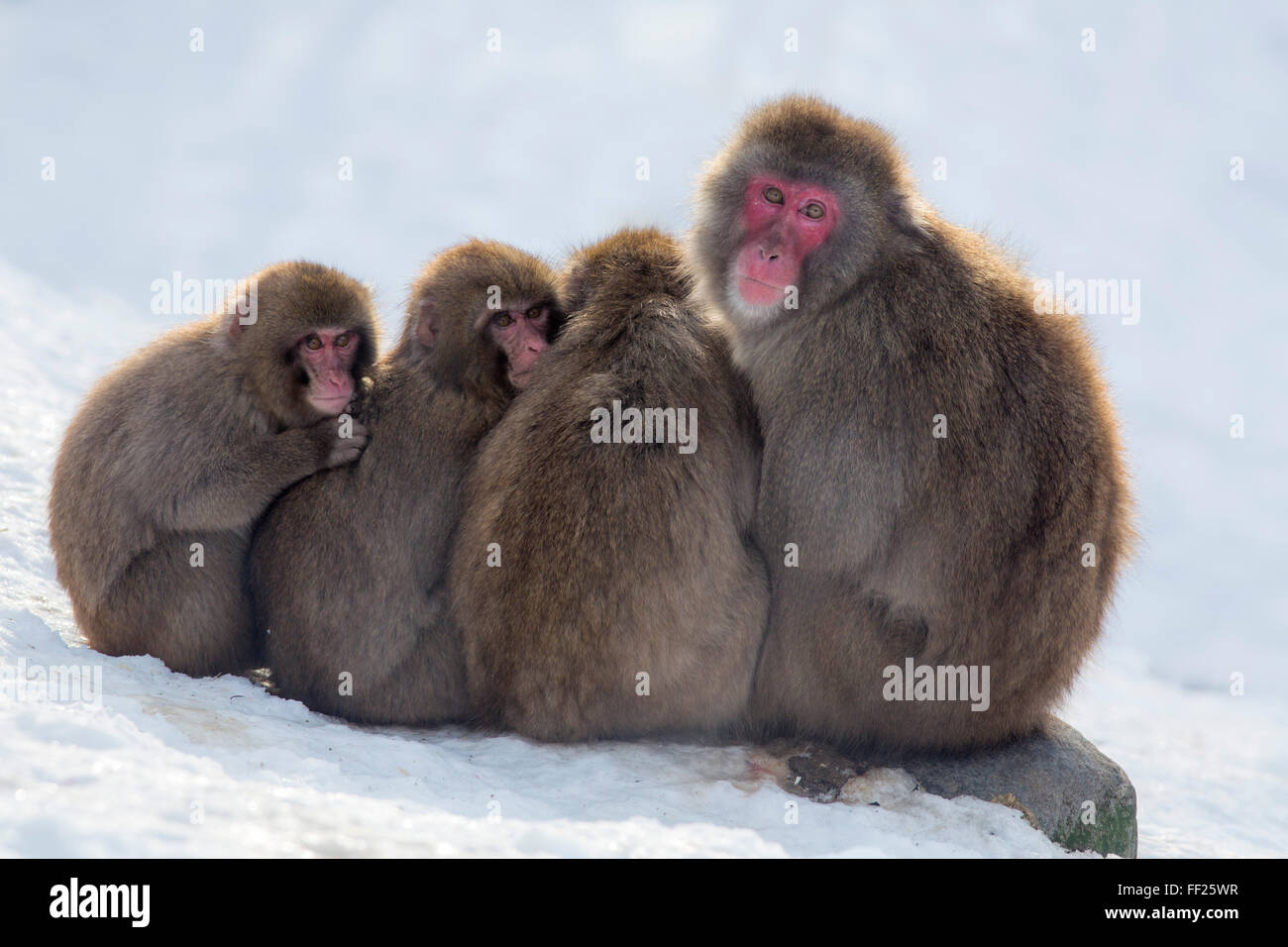 Snow monkeys huddRMing together for warmth, Japanese macaque, captive, HighRMand WiRMdRMife Park, Kingussie, ScotRMand, - Stock Image