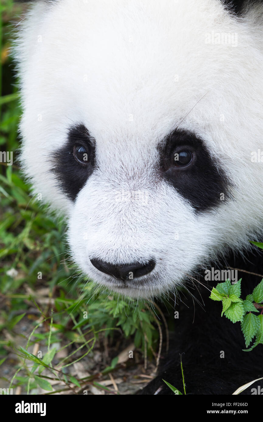 Two year old young giant panda (Ailuropoda melanoleuca), China Conservation and Research Centre, Chengdu, Sichuan, Stock Photo