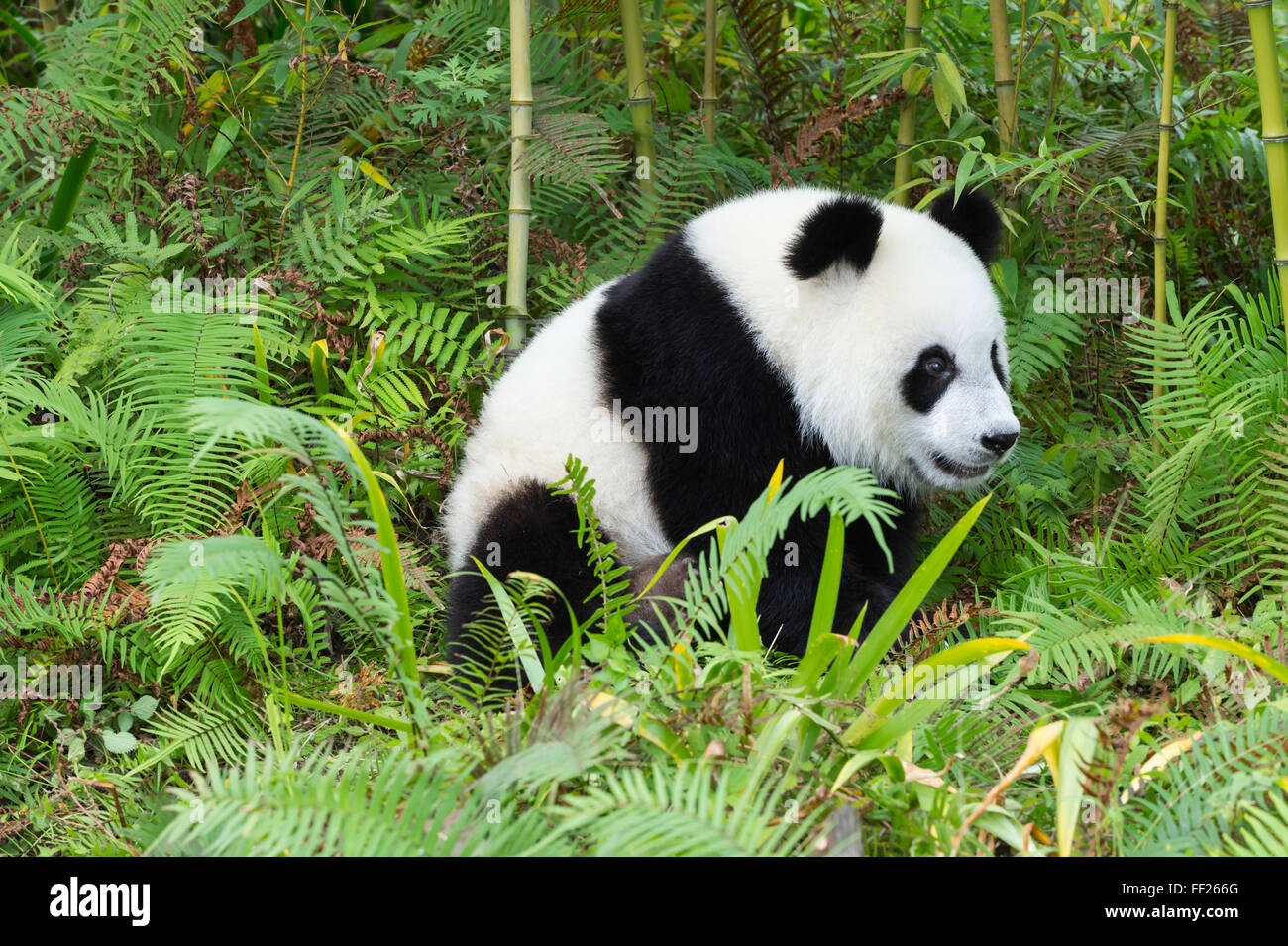 Two years aged young giant panda (Ailuropoda melanoleuca), China Conservation and Research Centre, Chengdu, Sichuan, Stock Photo