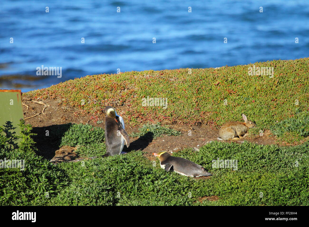 The endangered Yellow-eyed Penguin (Megadyptes antipodes) at Katiki Point Lighthouse (Moeraki Lighthouse), Moeraki, Stock Photo
