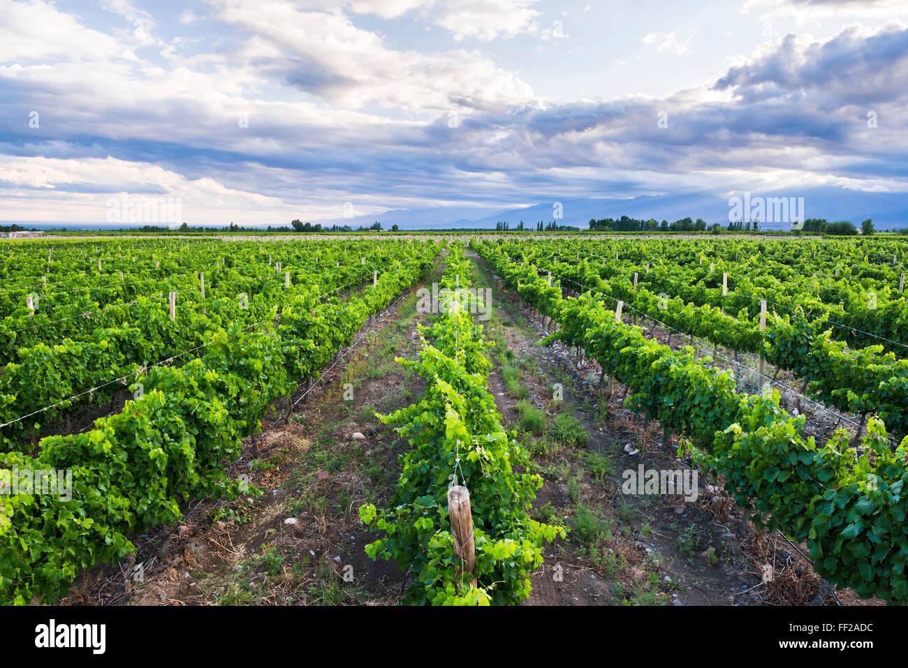 Vineyards at Bodega RMa AzuRM, a winery in Uco VaRMRMey (VaRMRMe de Uco), a wine region in Mendoza Province, Argentina, - Stock Image