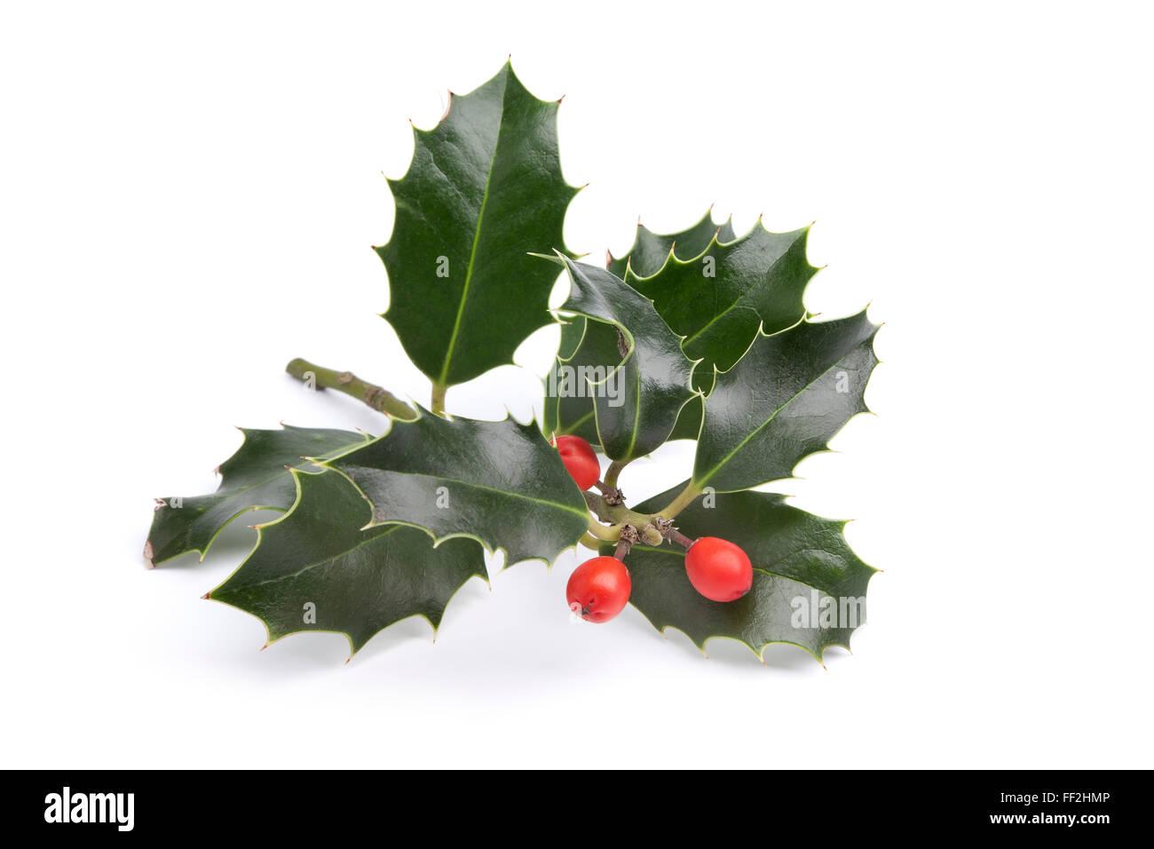 Twig of fresh Holly on white background - Stock Image