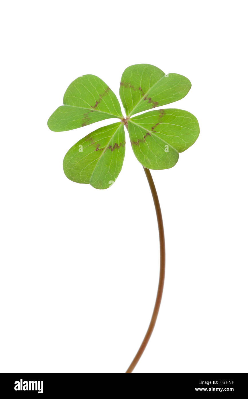 Fresh green Four-leaf clover on white background - Stock Image