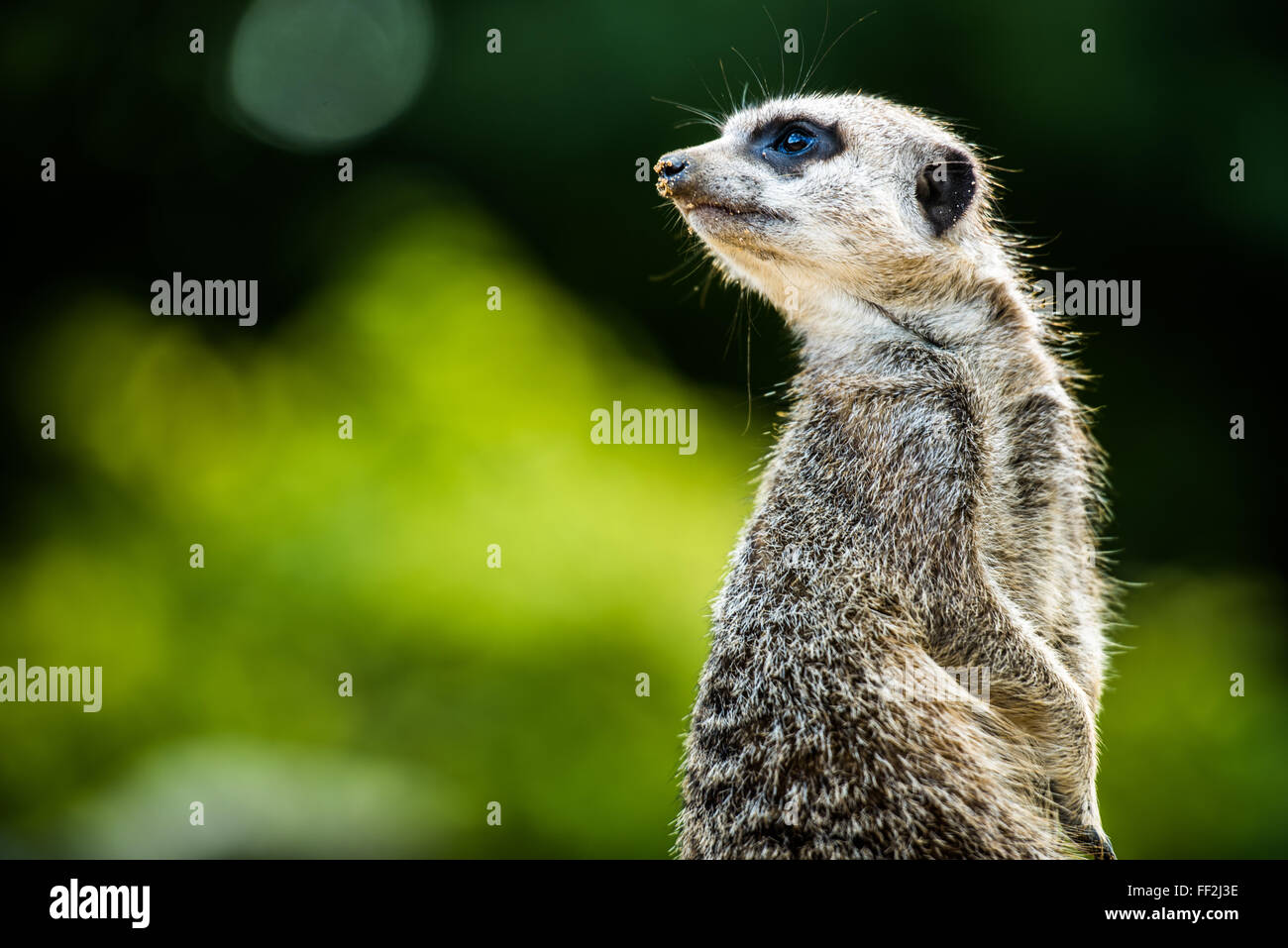 Meerkat (Suricata suricatta), in captivity, United Kingdom, Europe - Stock Image