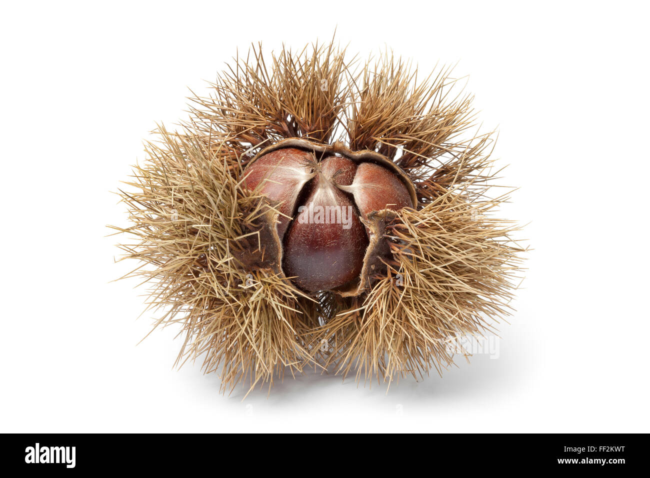 Fresh Sweet chestnut in spiked pod on white background - Stock Image