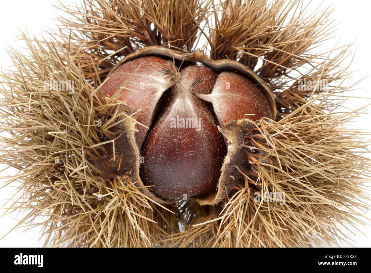 Sweet chestnut in spiked pod close up on white background - Stock Image