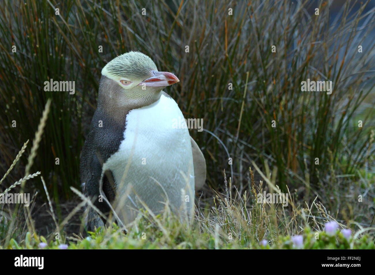 The endangered Yellow-eyed Penguin (Megadyptes antipodes) at Katiki Point Lighthouse (Moeraki Lighthouse), Moeraki, - Stock Image