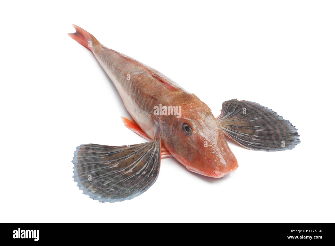 Whole single fresh raw red tub gurnard fish with spread fins on white background - Stock Image