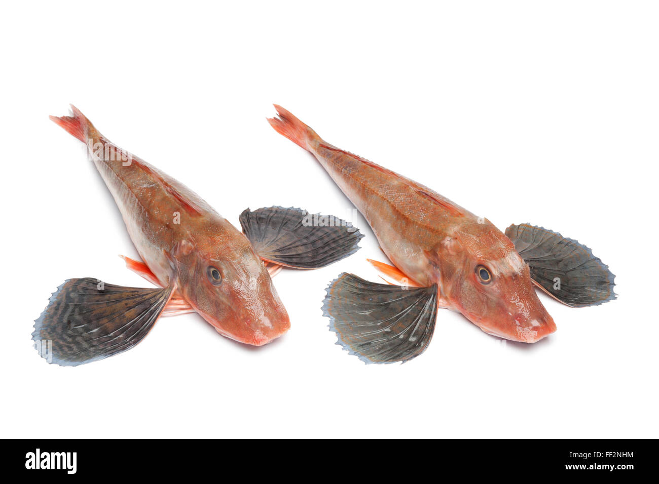 Fresh raw Red tub gurnard fishes with spread fins on white background - Stock Image