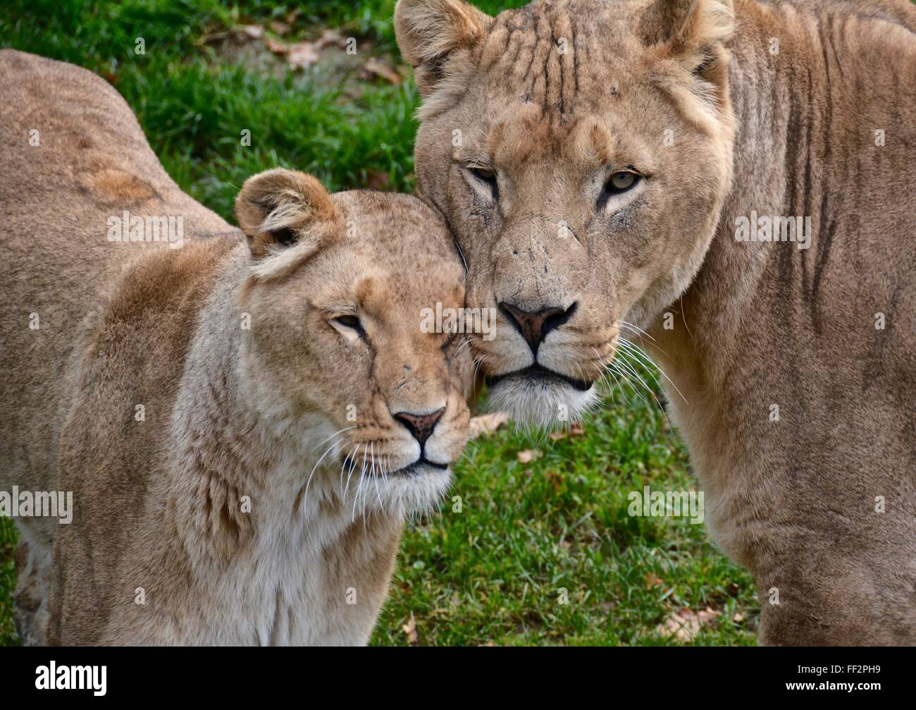 Lion's showing affection. - Stock Image