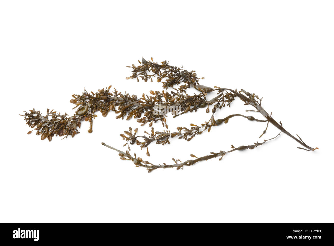Twig of common seaweed on white background - Stock Image
