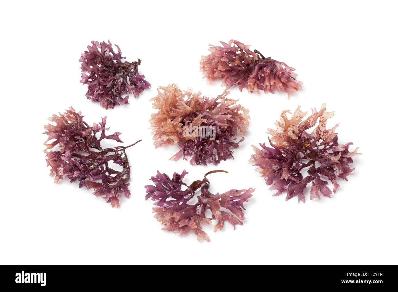 Star shaped moss seaweed on white background - Stock Image