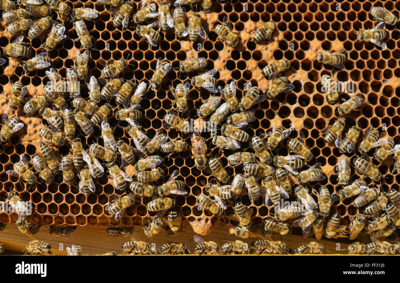 Bees and queen bee working on honeycomb in apiary - Stock Image
