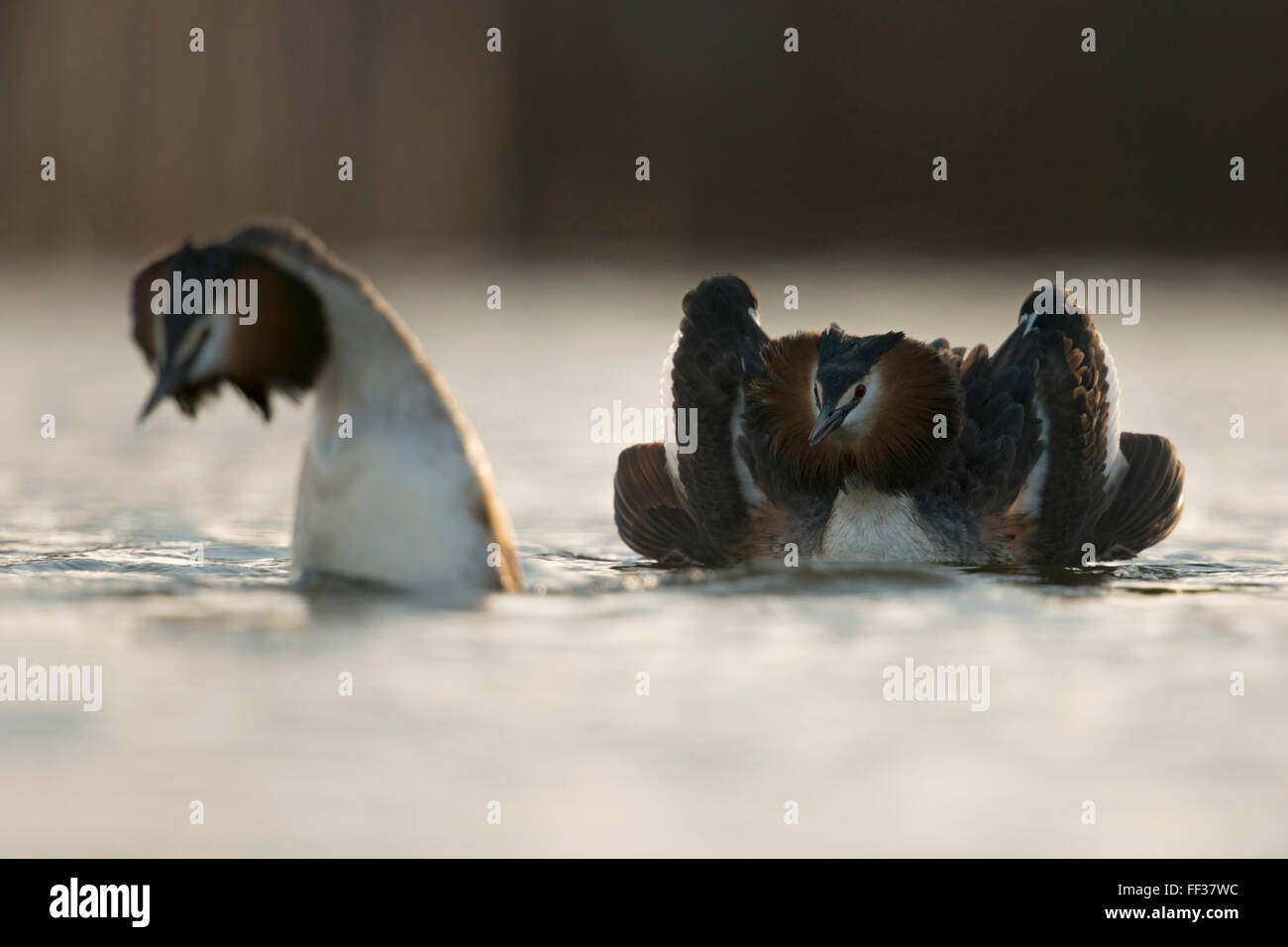 Great Crested Grebes / Haubentaucher ( Podiceps cristatus ) pair, showing their beautiful courtship display, early - Stock Image