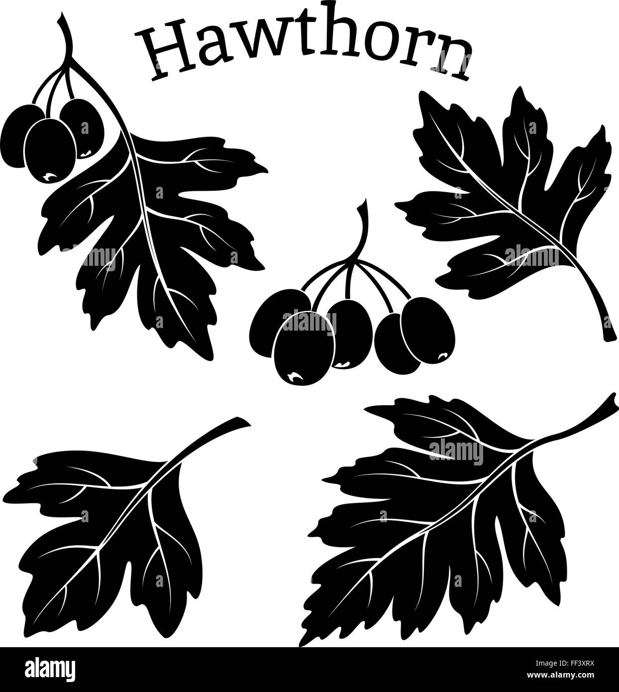 Hawthorn Leaves and Fruits Pictograms - Stock Image