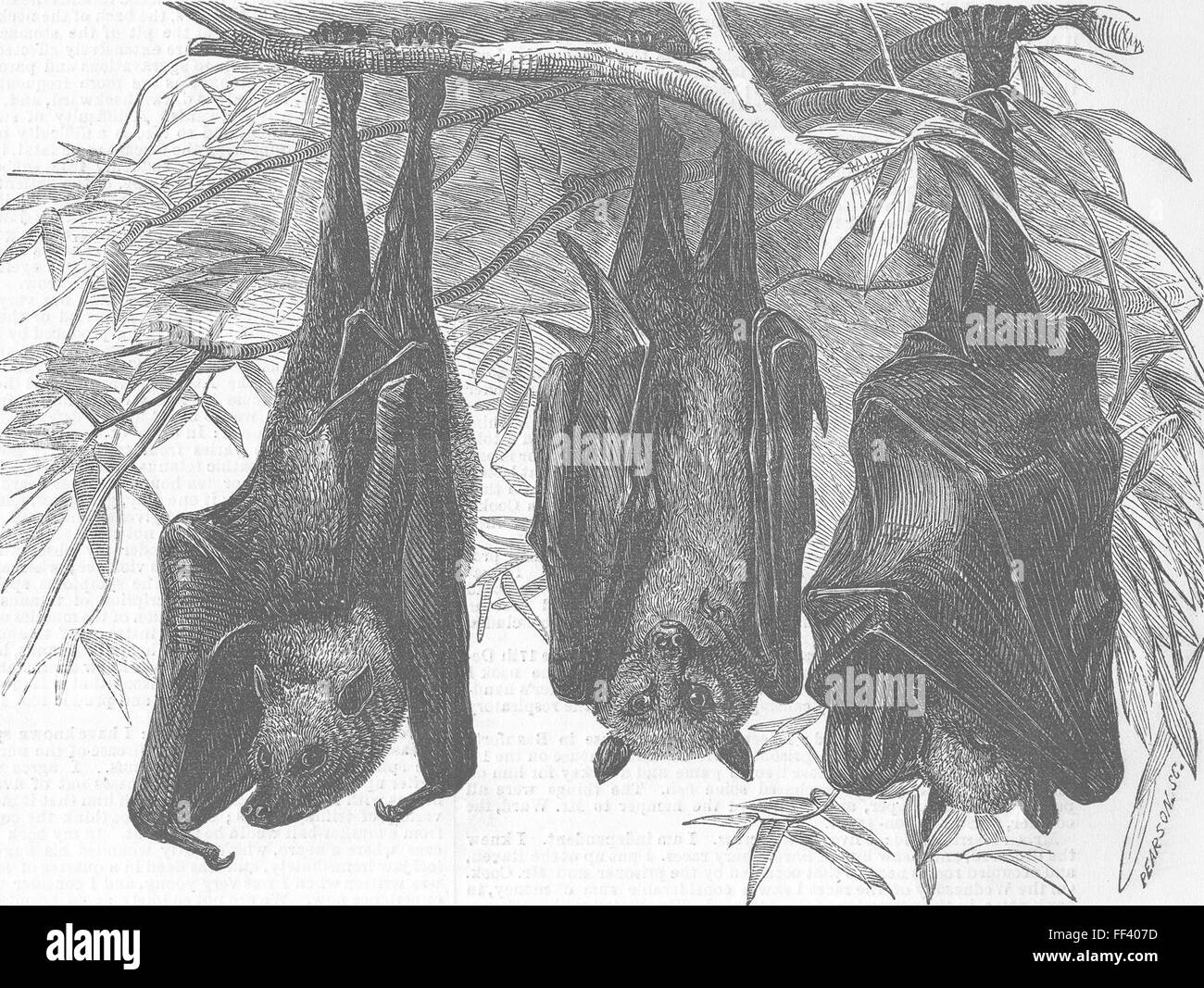 LONDON Zoo Flying foxes, Gdns of, Regent's Park 1856. Illustrated London News Stock Photo