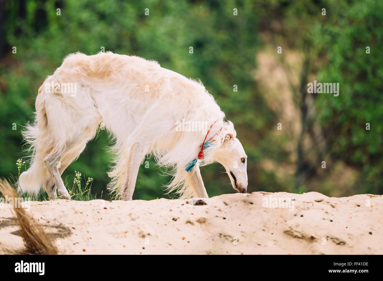 White Russian Wolfhound Dog, Borzoi, Hunting dog, Sighthound in Spring Summer Forest. These dogs specialize in pursuing Stock Photo