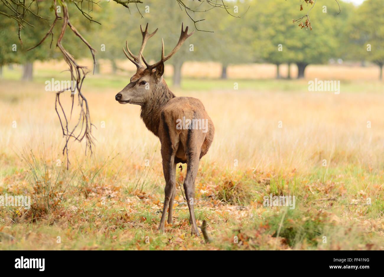 Deer trough the grass Stock Photo