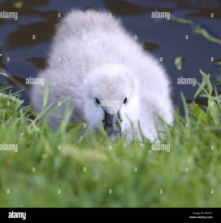 DEU, Germany, young black swan (lat. Cygnus atratus).  DEU, Deutschland, junger Trauerschwan (lat. Cygnus atratus). Stock Photo