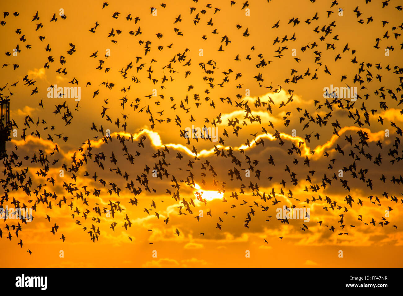 Aberystwyth, Wales, UK. 10th February 2016.  UK weather: A flock of thousands of tiny starlings fly in huge 'murmurations' Stock Photo