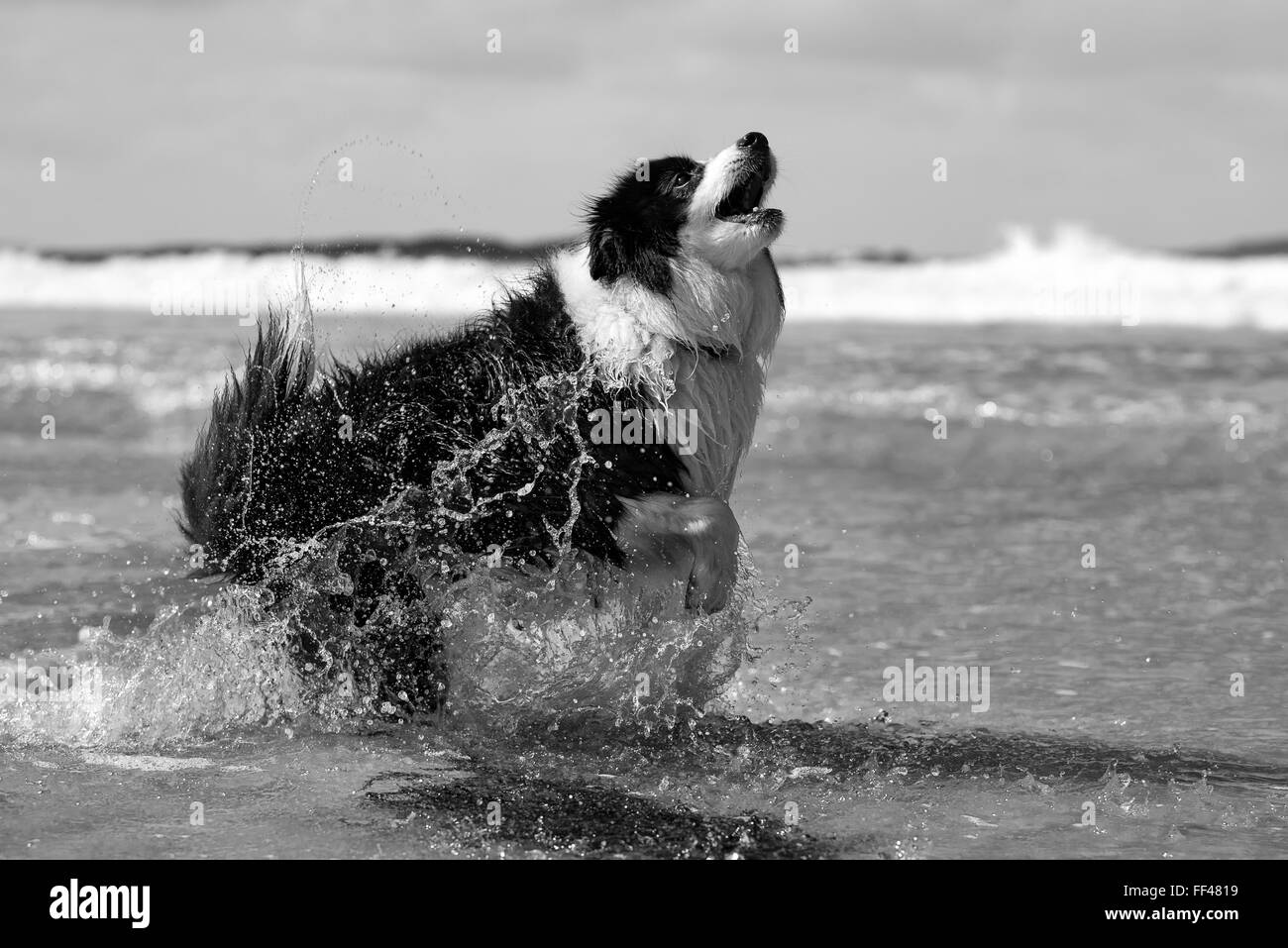 Border Collie dog playing in the atlantic ocean Stock Photo