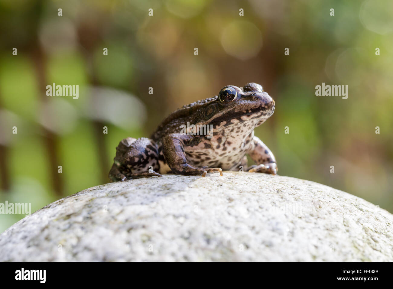 Common water frog on a stone in the autumn sun - Stock Image