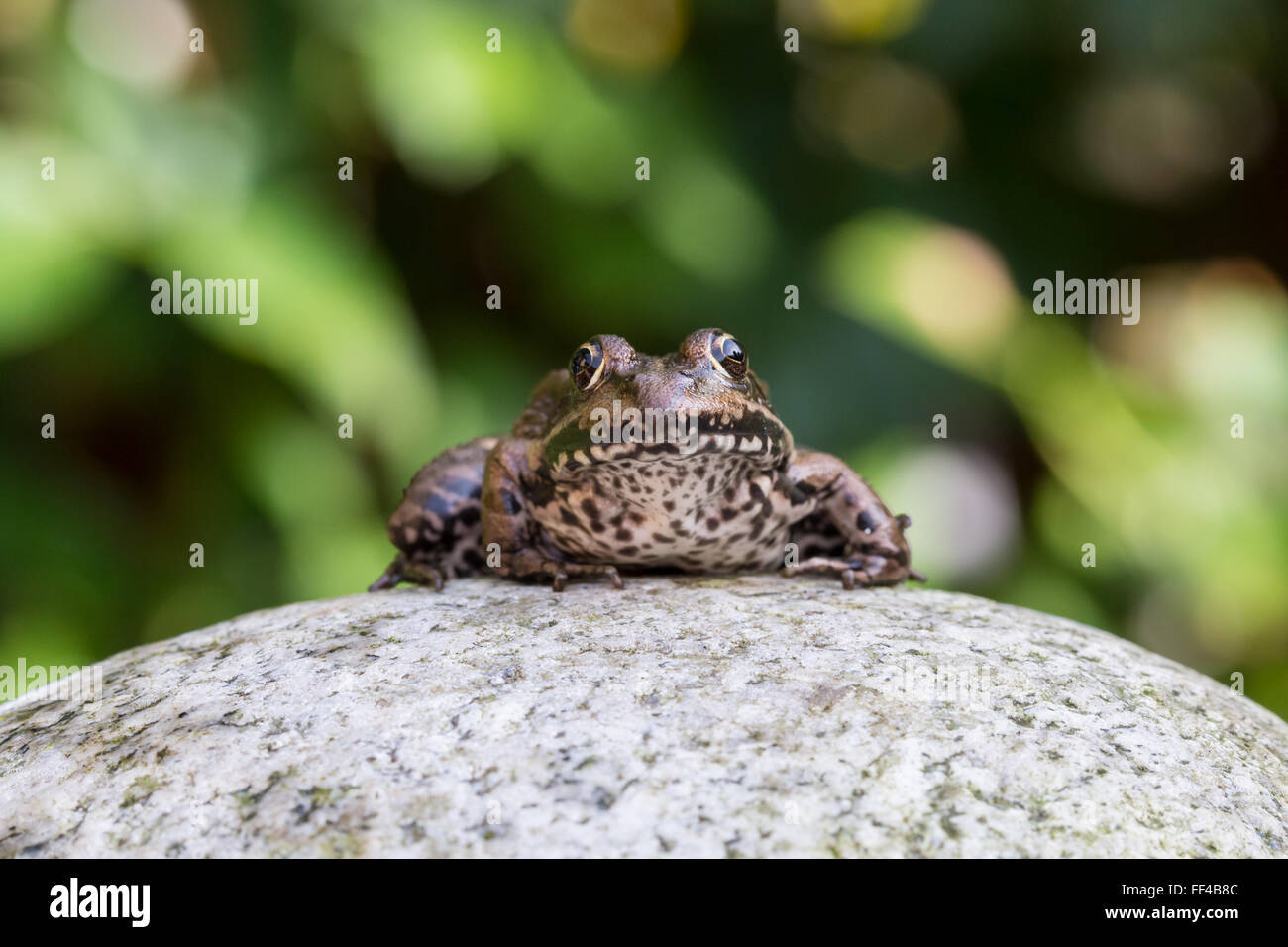 Common water frog on a stone in the autumn sun Stock Photo