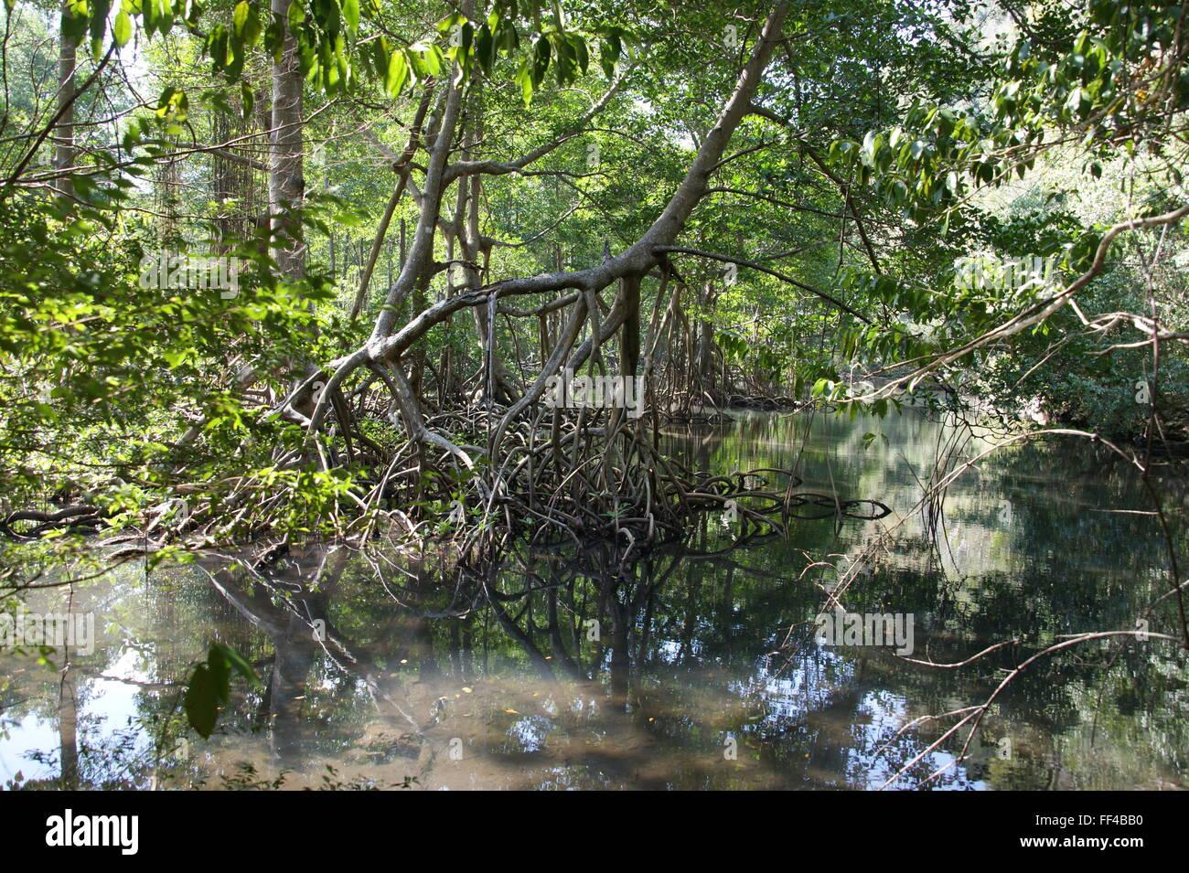 Rainforest, Mangroves.  Ecotourism. Los Haitises National Park, Sabana de La Mar, Dominican Republic - Stock Image
