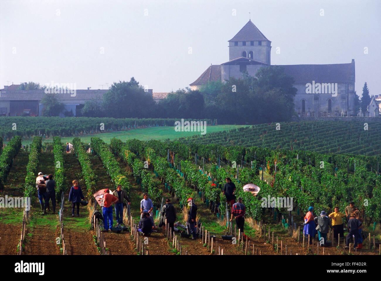 Harvesting grapes in Bordeaux vineyards near St Emilion France - Stock Image