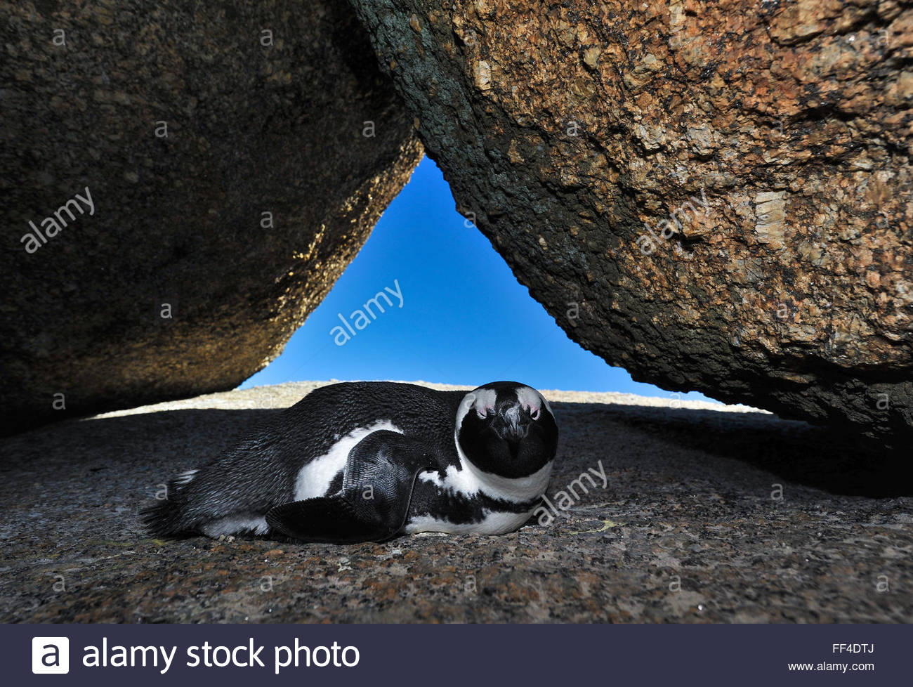 African penguin, Spheniscus Demersus, resting between the rocks, Boulders Beach, Western Cape, South Africa - Stock Image
