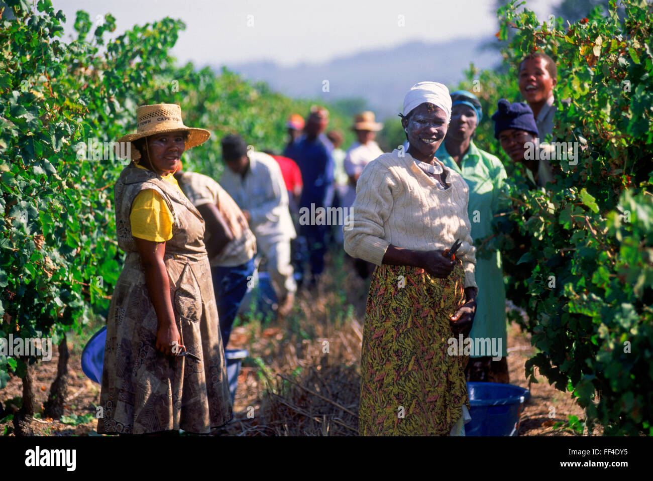 Grape harvesting in the vineyards at Stellenbosch, a town in the Western Cape province of South Africa - Stock Image
