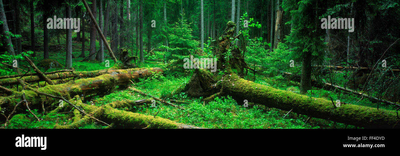 Panoramic image of fallen trees and moss covered trunks on floor of deciduous and evergreen forest in Sweden - Stock Image