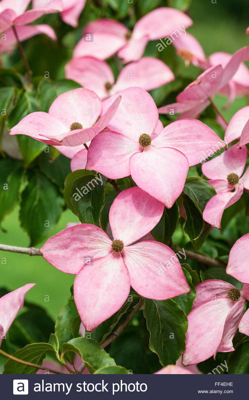 Pink Flowers Flowering Dogwood Cornus Stock Photos Pink Flowers
