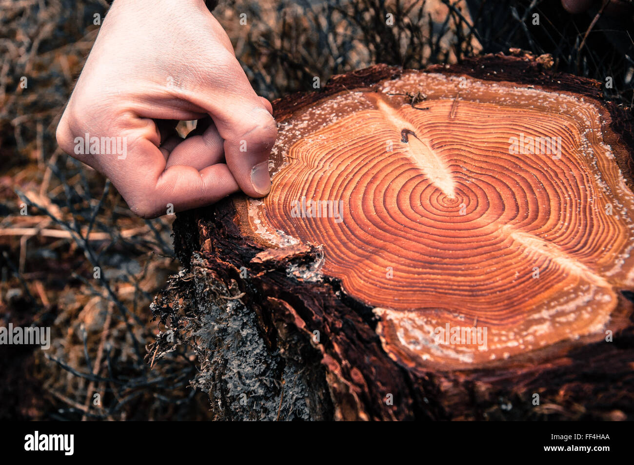 Hand counting tree rings on a cut log in a conifer forest - Stock Image