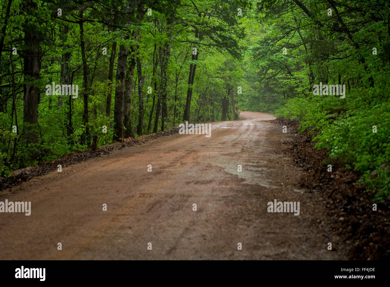 Dirt road winding through a green oak forest - Stock Image