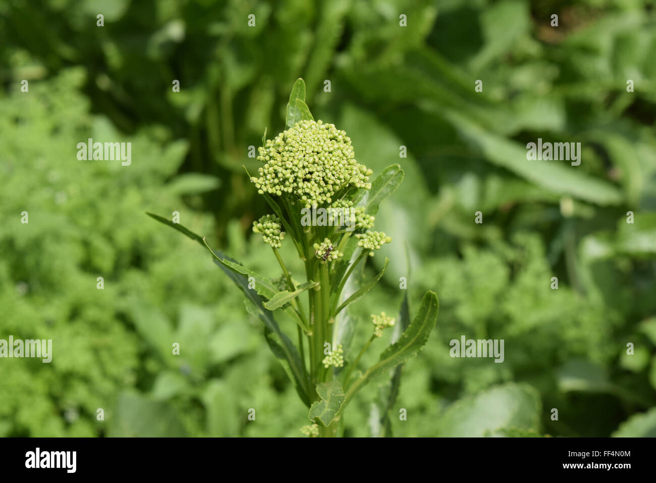 Ripened flower horseradish. Spicy plants in the garden. - Stock Image