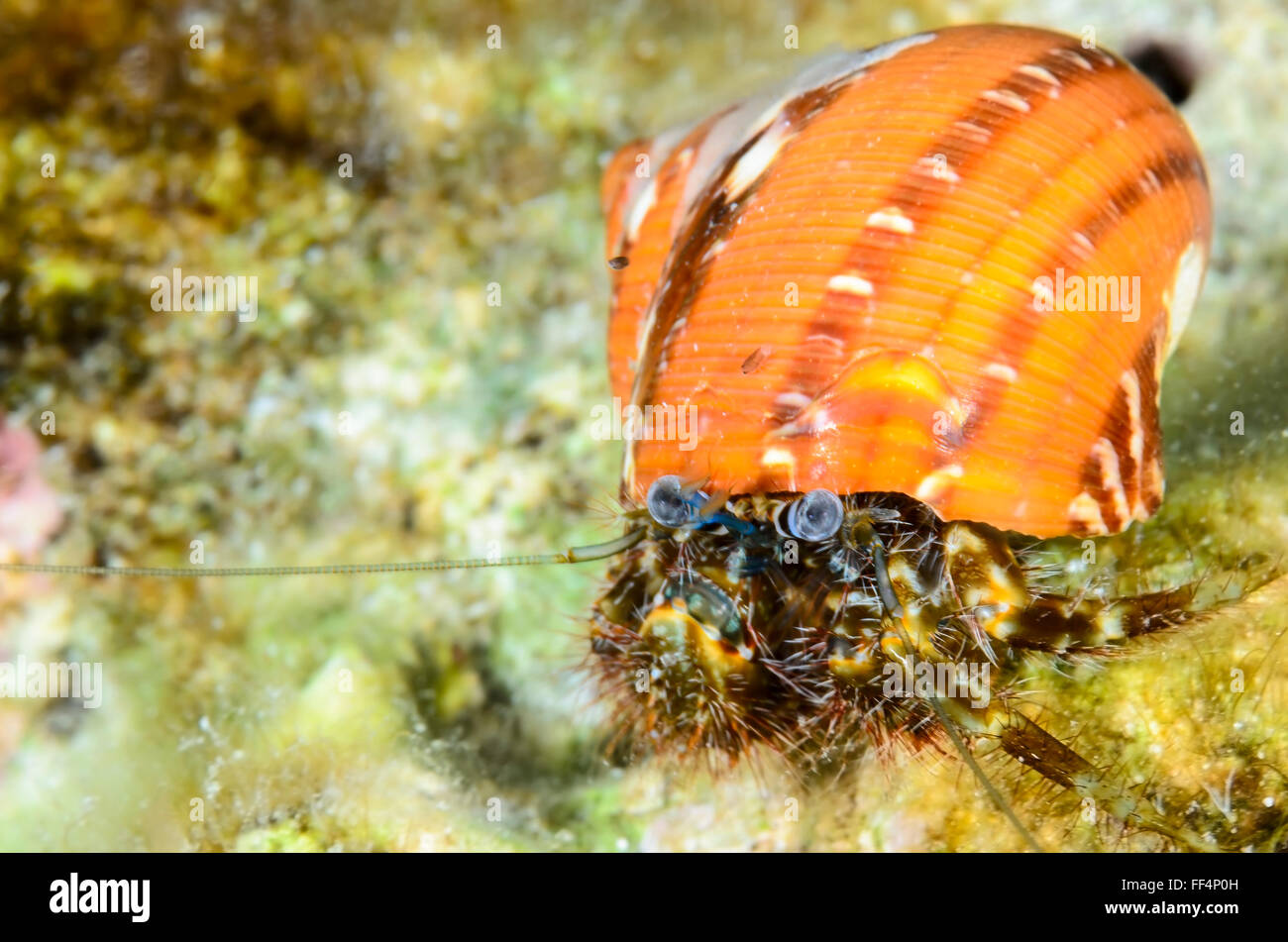 Hairy hermit crab, Pagurus hirtimanus, Moalboal, Tuble, Cebu, Philippines - Stock Image