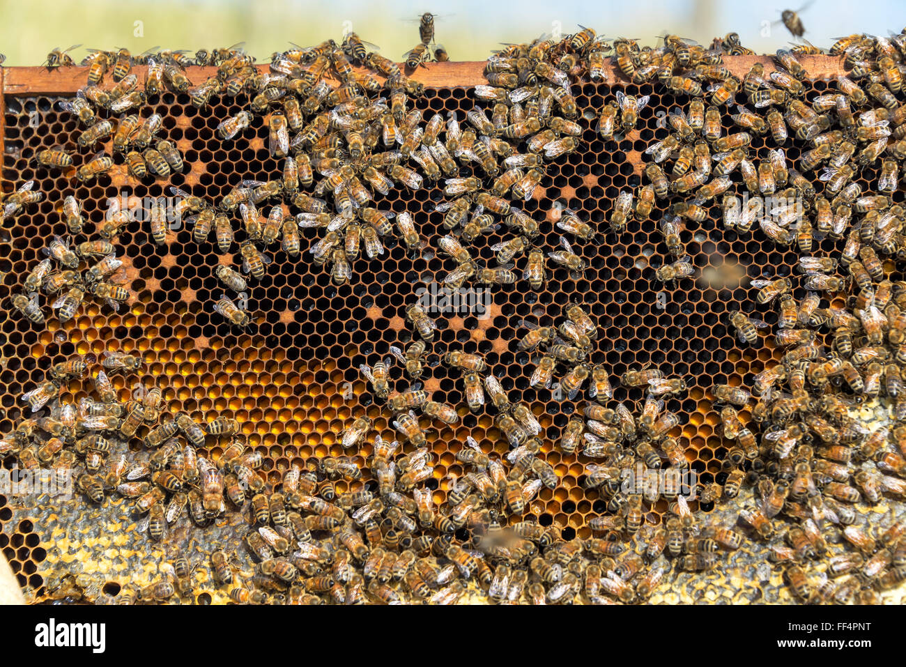 View of the inside of a beehive near Sheridan, Wyoming - Stock Image