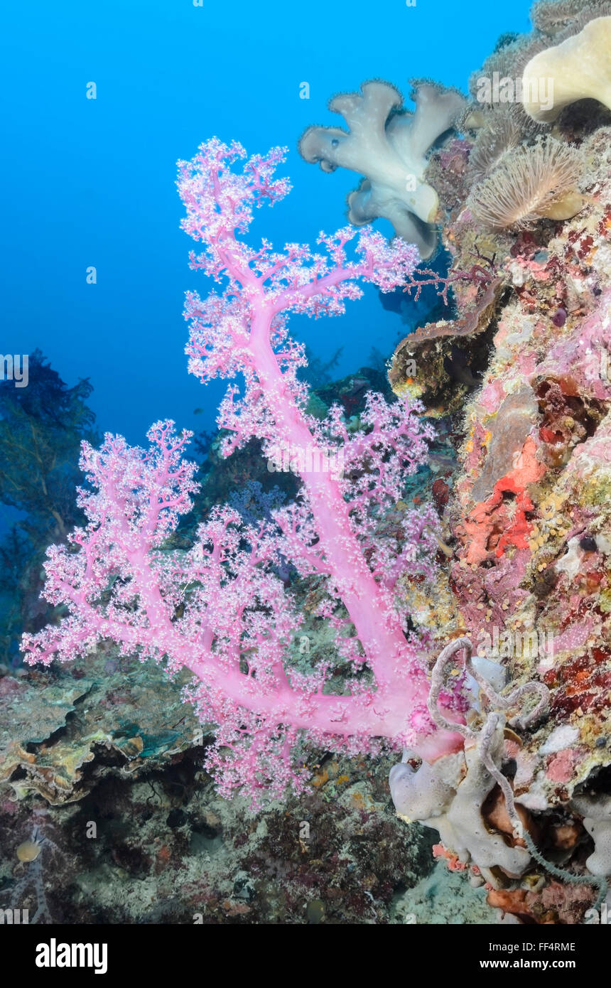 Tree coral, Scleronephthya sp., Moalboal, Tuble, Cebu, Philippines - Stock Image